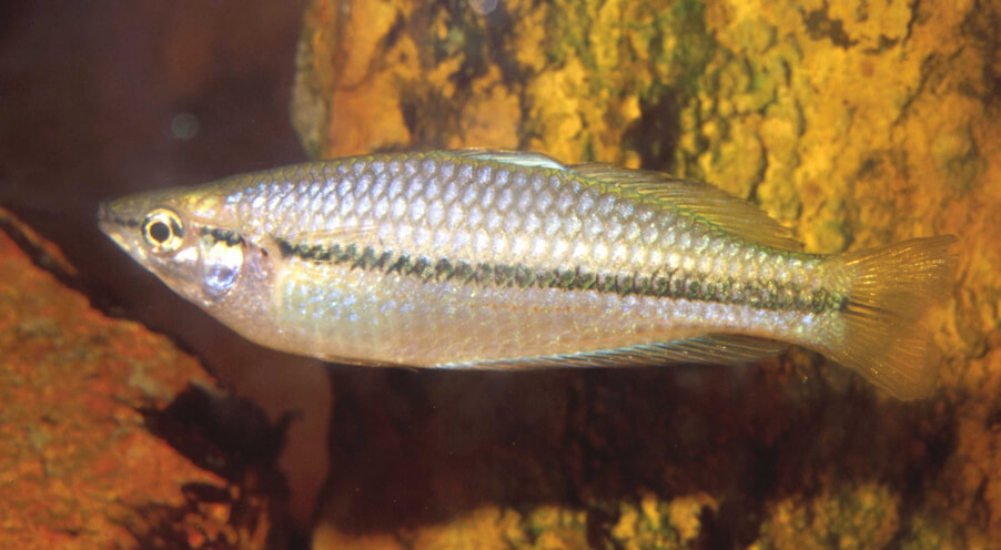 Eastern Rainbowfish (Melanotaenia splendida)